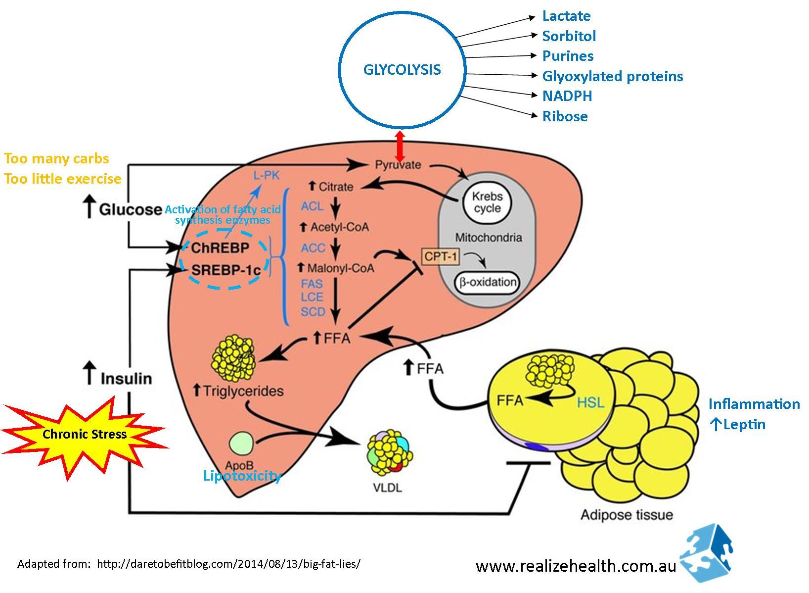 liver synthesise Protein synthesis in the liver and the urea cycle dr nc bird this lecture will consider the features of how nitrogen is removed from amino acids and converted to urea.